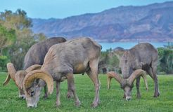 Big horn sheep grazing. Stock Photos
