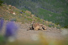 Big horn sheep has only one horn in Mount Washburn hiking trail Royalty Free Stock Photos