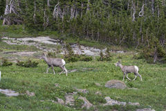 Big Horn Sheep heading for the mountains Royalty Free Stock Photos