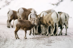 Big horn sheep Herd royalty free stock photo