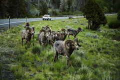 Big Horn Sheep Royalty Free Stock Photos