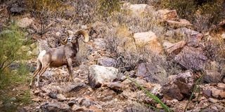 Big Horn Sheep Horizontal Web Banner royalty free stock photos