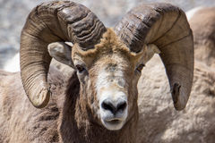 Big Horn Royalty Free Stock Image
