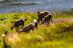 Free Big Horn Sheep In Colorado Stock Photography - 107309342