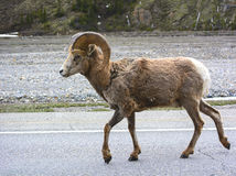 A big horn sheep in Jasper, Alberta Stock Photography