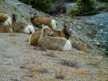 Big horn sheep, Jasper, National Park, Alberta, Canada. Big horn sheep resting on the side of the road in jasper national park Stock Photography