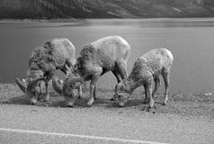 Big horn sheep. In Jasper National Park, Canada Royalty Free Stock Image
