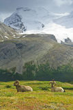 Big Horn Sheep, Jasper NP stock image