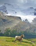Big Horn Sheep, Jasper NP Stock Photo