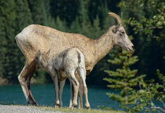Big Horn Sheep and Lamb Stock Photos