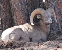 Big Horn Sheep. Large Big Horn Sheep Laying Down Royalty Free Stock Photos
