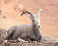 Big Horn Sheep Laying Down. On the ground Royalty Free Stock Photo