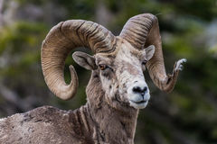 Big Horn Sheep Looking At Camera. With tuft of fur caught in end of horn Royalty Free Stock Photography