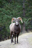 Big Horn Sheep. Looks directly at the camera, Maligne Canyon, Jasper, Alberta, Canada Royalty Free Stock Photography