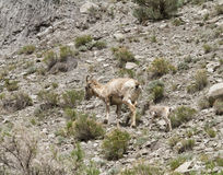 Big Horn Sheep Mom and Baby Royalty Free Stock Images