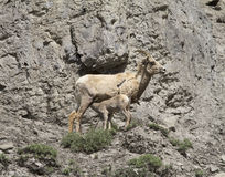 Big Horn Sheep Mom Nursing Baby Stock Photos