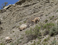 Big Horn Sheep Mom and Nursing Baby Stock Photo