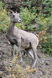 Big Horn Sheep on Mountain Stock Photos