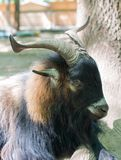 Big Horn Sheep Ovis canadensis portrait Stock Photo