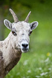 Big Horn Sheep Portrait Stock Photo