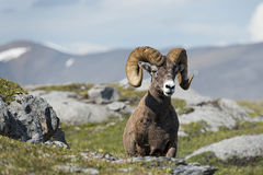 Big Horn Sheep portrait while looking at you stock photography