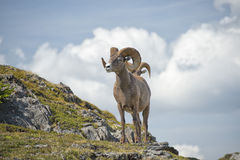 Big Horn Sheep portrait Royalty Free Stock Images