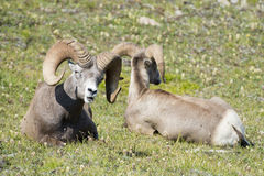 Big Horn Sheep portrait Stock Photography