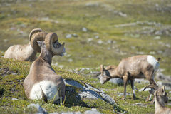 Big Horn Sheep portrait Royalty Free Stock Image