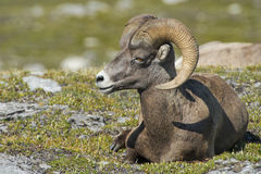 Big Horn Sheep portrait Royalty Free Stock Photos