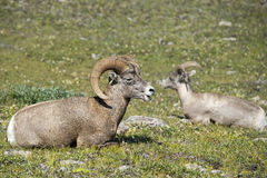 Big Horn Sheep portrait Stock Images