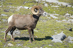 Big Horn Sheep portrait Stock Image