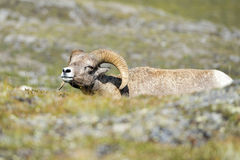 Big Horn Sheep portrait on rocky mountains Canada Stock Photography