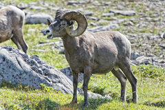 Big Horn Sheep portrait on rocky mountains Canada Stock Image