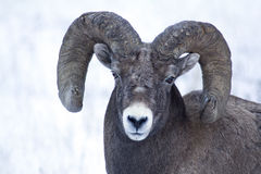 Free Big Horn Sheep Ram Royalty Free Stock Photography - 59237867