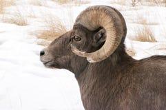 Big Horn Sheep Ram Royalty Free Stock Images
