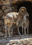 A big horn mountain sheep ram royalty free stock photo