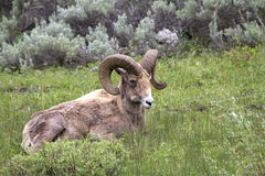 Big Horn Sheep Ram Laying Down Royalty Free Stock Images