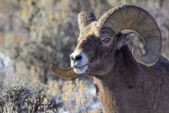 Big Horn Sheep Ram Stock Photo