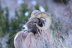 Big Horn Sheep Ram Royalty Free Stock Image