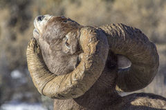 Big Horn Sheep Ram Sniffing the air Royalty Free Stock Images