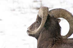 Big Horn Sheep Ram Stock Photography