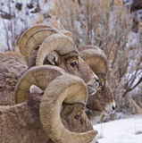 Big Horn Sheep rams Stock Photography