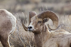 Big Horn Sheep rams Royalty Free Stock Photography