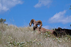 Big Horn Sheep Resting Royalty Free Stock Photo