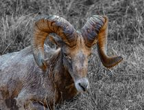 Big Horn Sheep Rests in Winter Grass royalty free stock photography