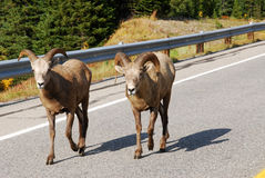 Big horn sheep on road royalty free stock image