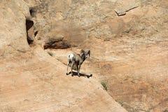 Big Horn Sheep Rock Climbing. Wild Rocky Mountain Bighorn Sheep / Ram Rock Climbing in Dinosaur National Monument, Utah stock images
