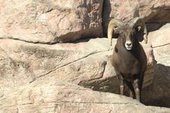Big Horn Sheep on Rocks 4 Stock Photos