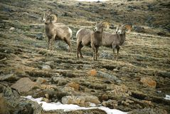 Big Horn Sheep - Rocky Mountains Stock Photo