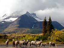 Big Horn Sheep in a Row Stock Photography